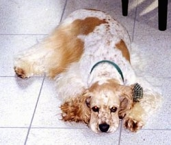 A white and tan American Cocker Spaniel is laying down on a tiled floor with a ribbon collar on.