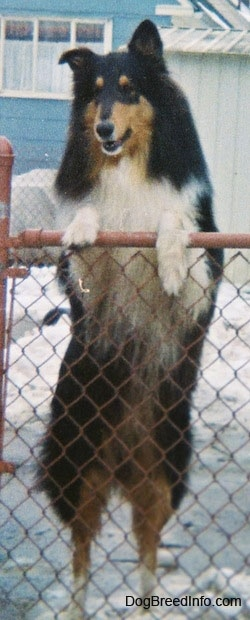 Shane the black, tan and white tricolor Rough Collie is jumped up with his front paws on the top of a chain link fence. There is snow all over the ground and a blue house behind him.