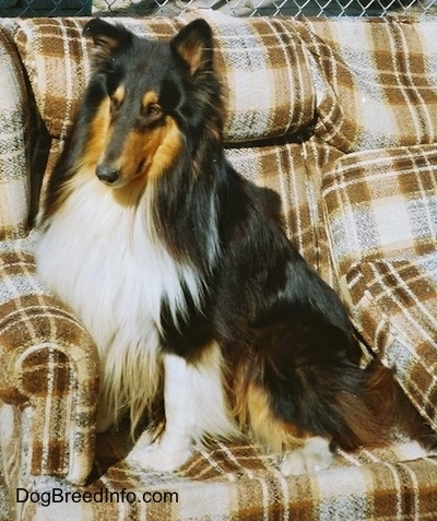 Shane the black, tan and white tricolor Rough Collie is sitting on a couch that is outside