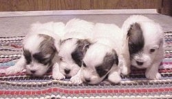 A litter of four Coton De Tulear puppies are lined up laying on a colorful rug