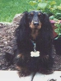 Katie the Black and tan Dachshund is sitting in a flower bed
