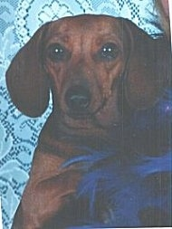Close Up - Maggie the Dachshund is sitting next to a person wearing blue