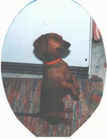 Maggie the brown Dachshund is sitting on her hind legs with her pws in the air and looking forward next to a refrigerator. There is an oval around the image