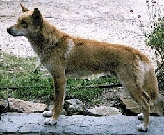 Left Profile - A Dingo is standing on a large rock with brush and sand in the background