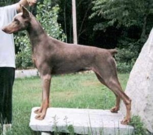 Left Profile - Wild Thing Bambi the Doberman Pinscher is posing on a rock slab with a person standing in front of him