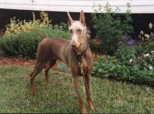 Ms. Moet the fawn Doberman Pinscher is standing in a yard in front of a house