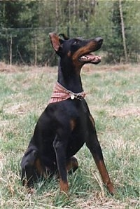 Nadia the black and tan Doberman Pinscher is wearing a red bandana and sitting in a field.