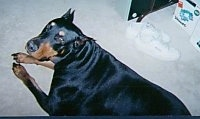 A Doberman Pinscher is laying on a floor. There is a pair of white sneakers behind him