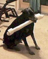 A Doberman Pinscher is sitting in a room with a large rawhide bone toy in its mouth