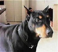Close Up upper body shot - Doberman Pinscher standing in a house and looking forward