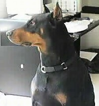 A black and tan Doberman Pinscher is sitting in a house and looking to the left with a black leather couch behind it