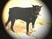 Doberman Pinscher is standing on a bed and looking forward. There is a large black vignette around the image