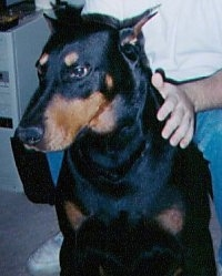 Close Up - Max the black and tan Doberman Pinscher is sitting in front of a person and looking to the left