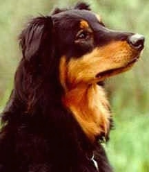 Close Up - Gay Currier the black and tan English Shepherd is sitting outside and looking to the right