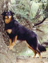 Gay Currier the black and tan English Shepherd is standing on a rock that is against a tree.