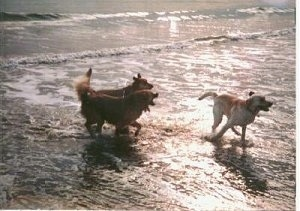 Three dogs are running together through water on a beach with the sun reflecting off the water.