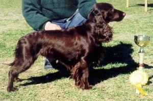 A brown Field Spaniel is being posed by a person behind it. There is a trophy and a yellow ribbon in front of the dog.