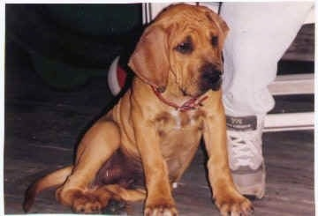 A tan Fila Brasileiro puppy is wearing a red collar and sitting against a persons leg who is wearing white pants and gray sneakers.