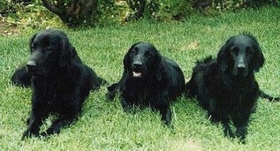 Front view - Three black Flat-Coated Retrievers are laying in a row outside in grass. The dog in the middles mouth is open and it looks like it is smiling.