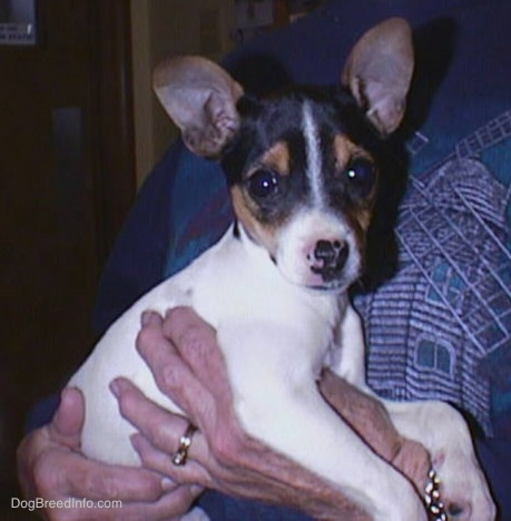 Side view - A small tricolor white, black and tan puppy with perk ears being held by a lady in a blue shirt. The dog is looking at the camera.