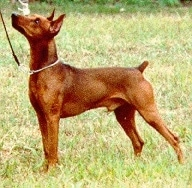 German Pinscher Puppy Dogs