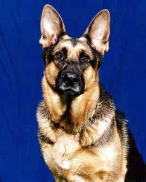Upper body shot - A black and tan German Shepherd is sitting in front of a blue wall