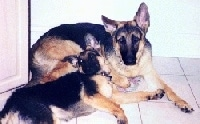A black and tan adult German Shepherd is laying in front of a wall with a black and tan German Shepherd puppy laying on the side of it