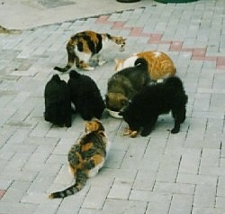 One black and tan and three black German Spitz puppies are outside on a porch area eating food from a bowl. There are three cats around them