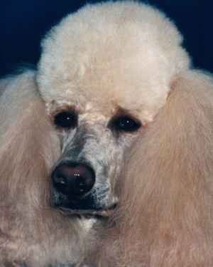 Close up head shot - The face of a tan Poodle with thick hair on its ears and head.