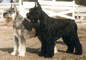 A black Giant Schnauzer and a grey with white Giant Schnauzer are standing in a field next to each other with white fencing behind them.