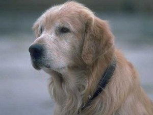 Close Up upper body shot - An old graying Golden Retriever is sitting outside and looking forward