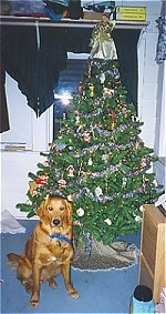 A Golden Retriever is sitting on a blue carpet next to a Christmas tree