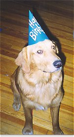 A Golden Retriever sitting on a hardwood floor wearing a blue cardboard Happy Birthday hat.