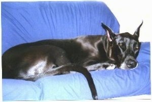 A black Great Dane is sleeping on a blue couch