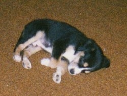 A small tricolor black, tan and white Greater Swiss Mountain puppy is sleeping on a tan carpet on its right side