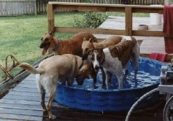 Four Greyhounds are standing in a blue kiddie pool on a wooden deck.