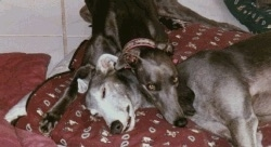 Two grayhounds on top of a maroon pillow - The blue-gray dog has its head over top of a gray and white dog.