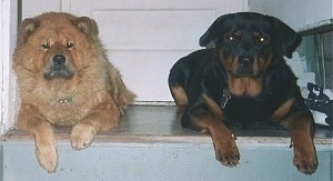 A tan Chow Chow is laying at the top of a staircase next to a black and tan Rottweiler
