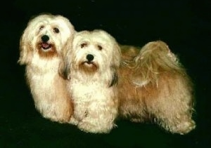 Two tan Havanese are standing on a black backdrop. The Havanese that is furthest left has its mouth open