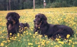 Two black with tan Hovawarts are laying in a field of yellow flowers looking forward.