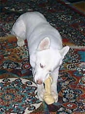 Front view - A pure white Siberian Husky dog laying down on a rug biting a rawhide bone that is in-between its front paws.
