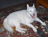 Topdown view of a pure white Siberian Husky that is laying on top of a rug. It is looking up, its mouth is open and it is looking like it is smiling.