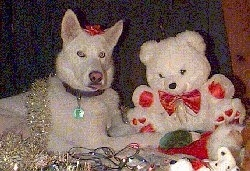 A pure white Siberian Husky is laying across a surface and there is a white teddy bear in front of it. There is a red ribbon on the Huskys head and there is a gold garland on its back.