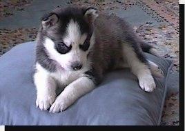 Siberian Husky Puppy Dogs