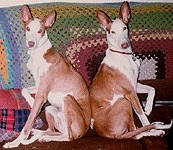 Two Ibizan Hounds are sitting back to back on a couch that has a crocheted blanket over the back of it.