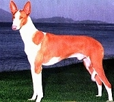 A brown with white Ibizan Hound is standing in a field. Behind it is a body of water