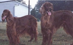 Two panting red Irish Setters are standing in grass in front of a chain link fence that has a white building behind it.