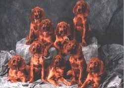 A litter of 9 red Irish Setter puppies sittting and laying in front of a gray backdrop.