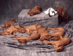 A litter of red Irish Setter puppies sleeping on a gray backdrop. One red Irish setter puppy is awake and trying to grab at a plush dog toy.