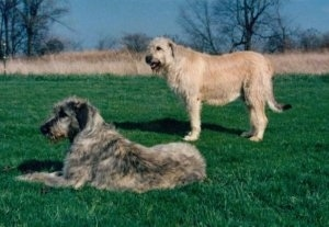 Two adult dogs, a black, tan and grey Irish Wolfhound is laying in grass and next to it is a standing tan Irish Wolfhound.